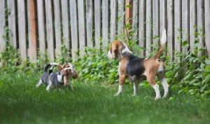 Beagle 8 weeks-20