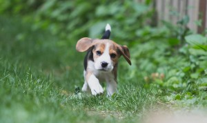 Beagle 8 weeks-23