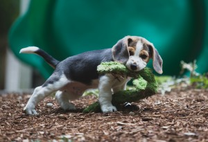 Beagle 8 weeks-27