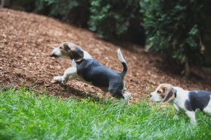 Beagle 8 weeks-32