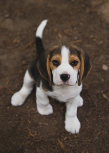 Beagle 8 weeks-35