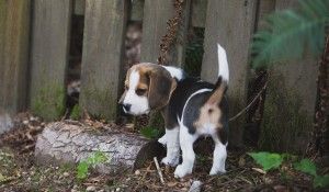 Beagle 8 weeks-47