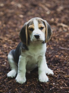 beagle puppy 9 wks-1