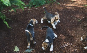 beagle puppy 9 wks-10