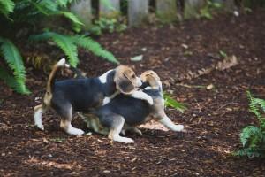 beagle puppy 9 wks-13
