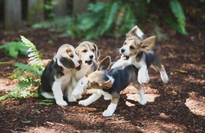 beagle puppy 9 wks-15