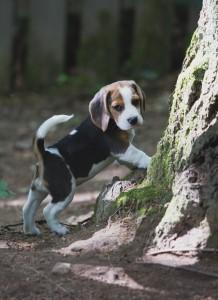 beagle puppy 9 wks-2