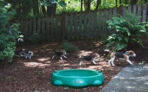 beagle puppy 9 wks-23
