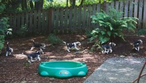 beagle puppy 9 wks-24