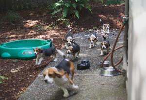 beagle puppy 9 wks-26