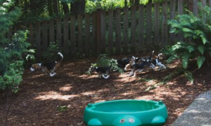 beagle puppy 9 wks-27