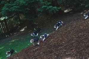 beagle puppy 9 wks-29