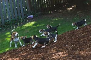 beagle puppy 9 wks-30