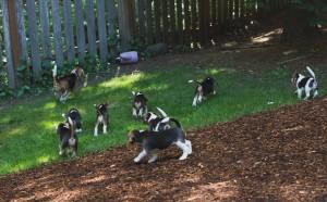 beagle puppy 9 wks-31