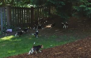 beagle puppy 9 wks-32
