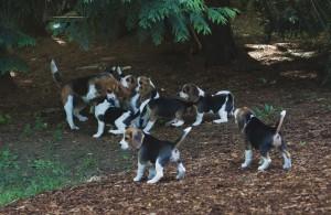 beagle puppy 9 wks-36