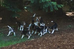 beagle puppy 9 wks-37