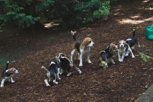 beagle puppy 9 wks-39