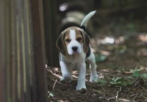beagle puppy 9 wks-6