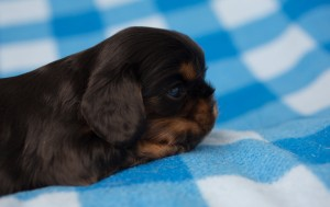 cavalier puppies 3 weeks-15