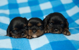 cavalier puppies 3 weeks-17