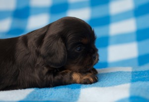 cavalier puppies 3 weeks-2