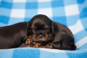 cavalier puppies 3 weeks-20