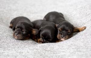 cavalier puppy 1week-16