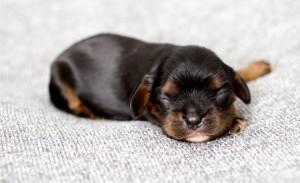 cavalier puppy 1week-8