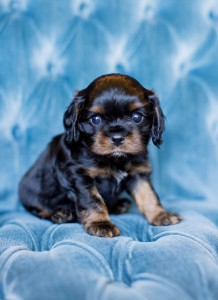 cavalier puppy seattle 5 weeks-15