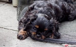 cavalier puppy 9 weeks-109
