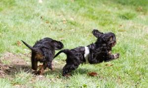 cavalier puppy 9 weeks-117