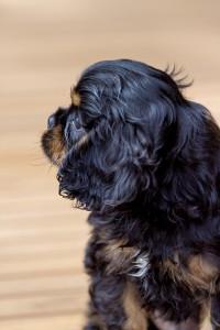 cavalier puppy 9 weeks-207