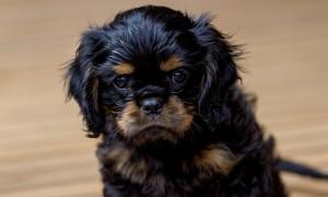 cavalier puppy 9 weeks-248