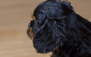 cavalier puppy 9 weeks-251