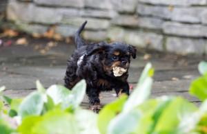 cavalier puppy 9 weeks-34