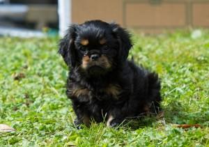cavalier puppy 9 weeks-53