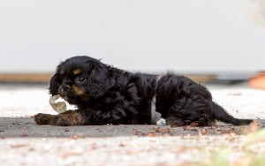 cavalier puppy 9 weeks-89