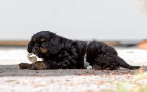 cavalier puppy 9 weeks-89