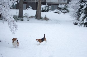 beagle snow day-11