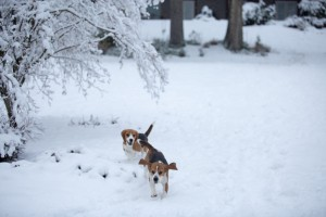 beagle snow day-12