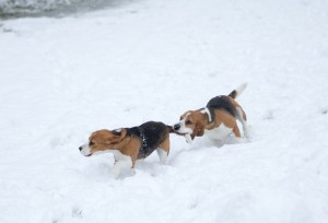 beagle snow day-14