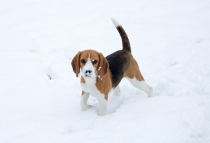 beagle snow day-16