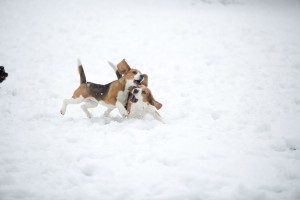 beagle snow day-31