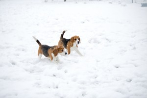 beagle snow day-33