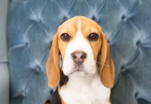 beagles 4 months-12