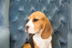 beagles 4 months-16