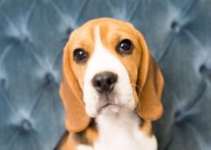 beagles 4 months-3