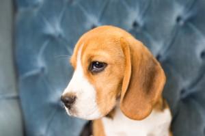 beagles 4 months-4