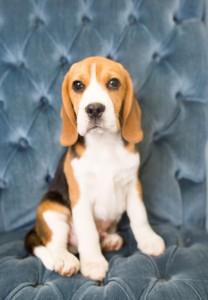beagles 4 months-5